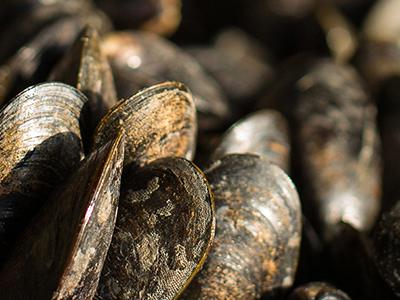 Recycling: Oude mosselschelpen als voedingsbodem voor de Zeeuwse Oester