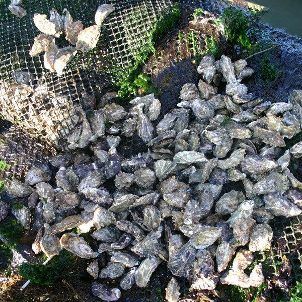 zeeuwse zomer oesters